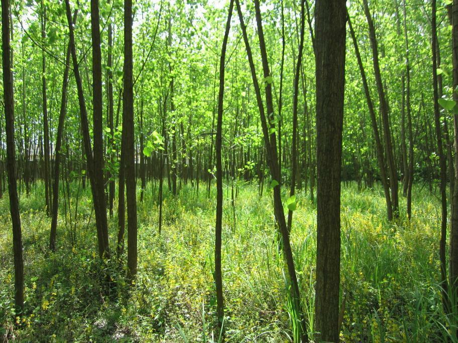 دارای 2000 اصله درخت صنوبر